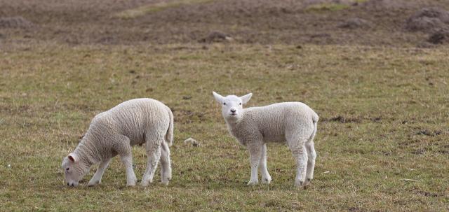 迷える子羊